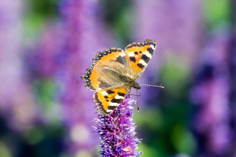 Schmetterling auf Feldsommerblume, stockfotos