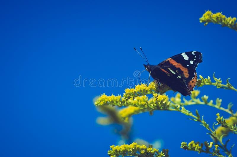 Schmetterling auf Gelb blüht Vanessa-atalanta stockbild