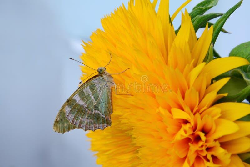 Schmetterling auf Sonnenblume stockfotos