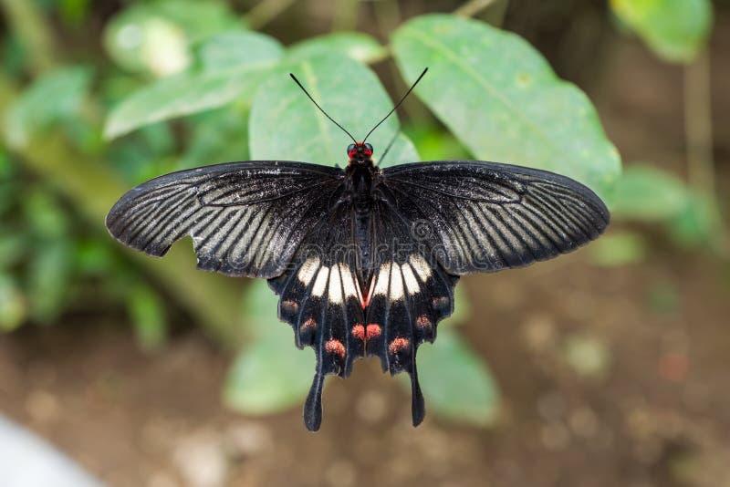 Schmetterling am Bali-Schmetterlings-Park stockfotos