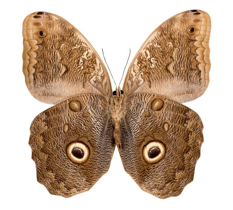Schmetterling Caligo lokalisiert auf weißem Hintergrund stockbilder