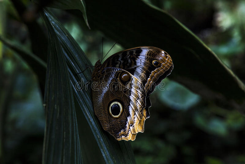 Schmetterling - Caligo Memnon lizenzfreie stockfotografie