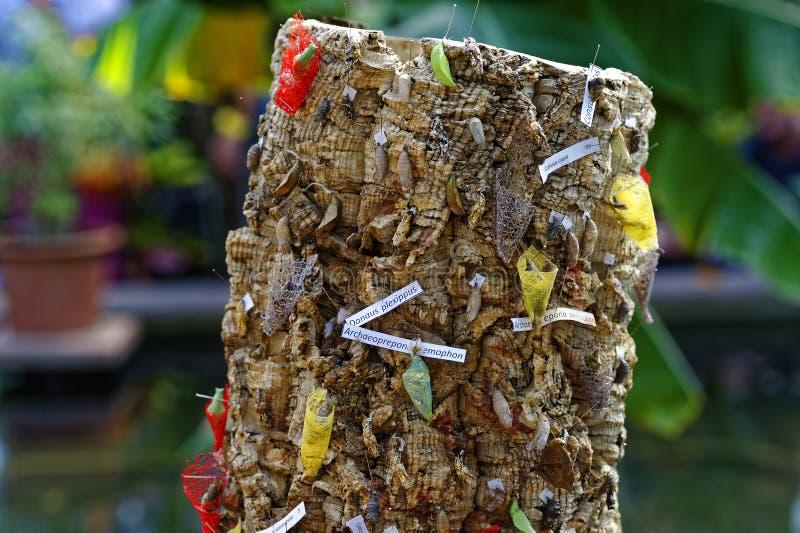 Schmetterling chrysalises am Baumstumpf stockfoto