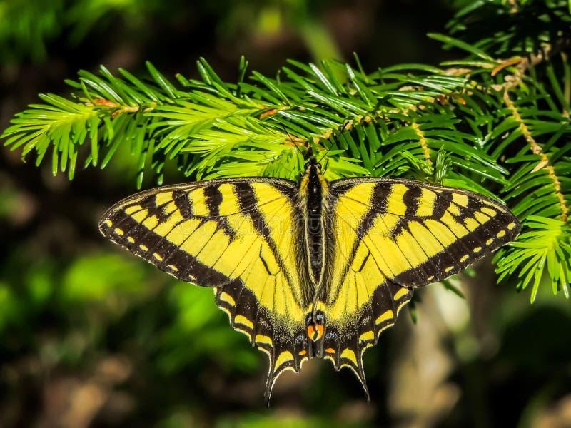 Schmetterling, der auf Baumast sitzt lizenzfreie stockbilder
