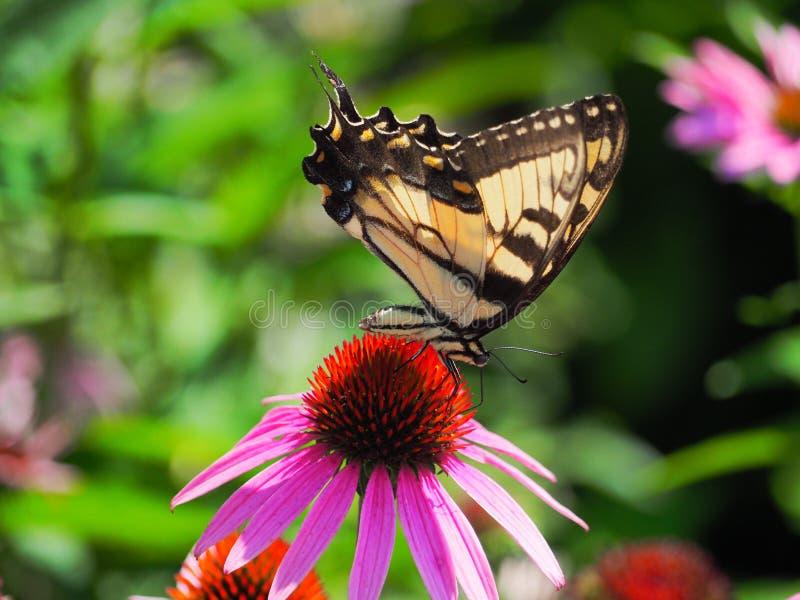 Schmetterling, der auf eine purpurrote Kegel-Blume einzieht stockbild