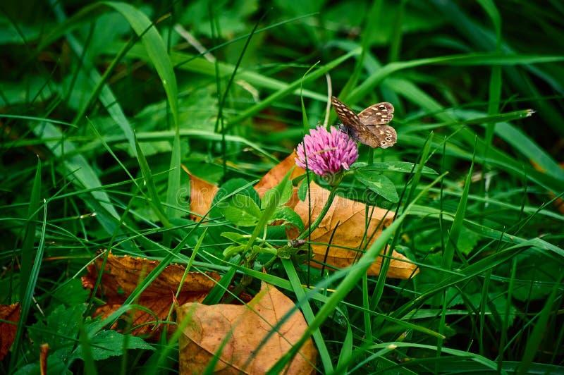 Schmetterling, der auf einer Kleeblume in einem Gras sitzt lizenzfreie stockfotografie