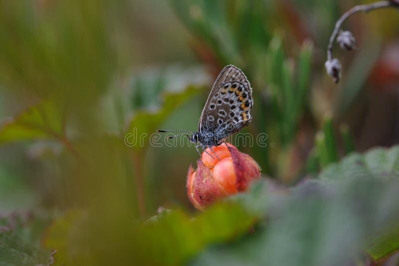 Schmetterling, der auf Schellbeere sitzt lizenzfreie stockfotografie