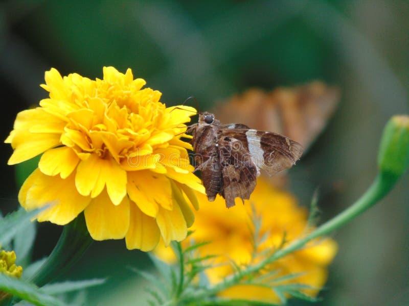 Schmetterling, der eine gelbe Blume bestäubt lizenzfreies stockbild
