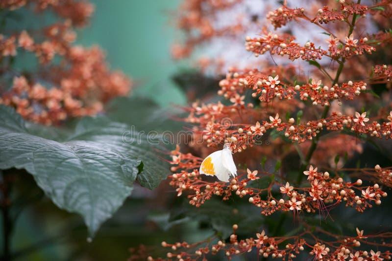 Schmetterling, der einige Blumen kontrolliert stockbild