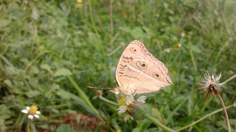 Schmetterling, der Honig sammelt stockfoto