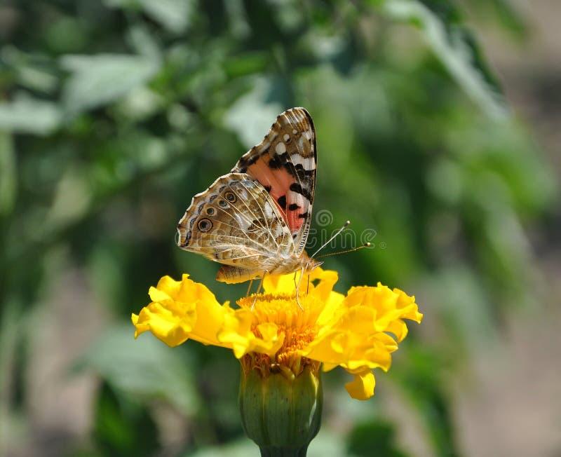 Schmetterling, der Nektar auf gelber Blume am sonnigen Tag des Sommers isst lizenzfreies stockbild