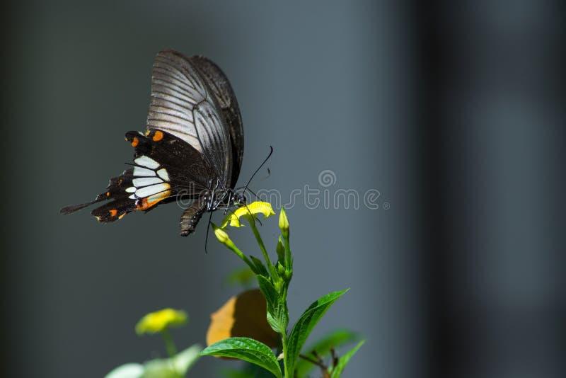 Schmetterling, der Nektar saugt lizenzfreie stockbilder