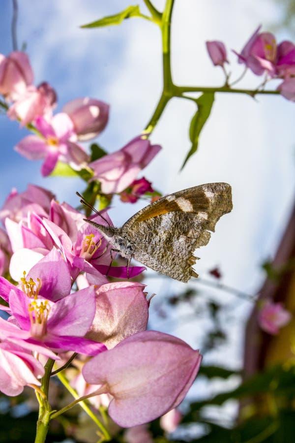 Schmetterling, der rosa blühende Blumen der Kranz-der Rebe einer Königin bestäubt stockfoto
