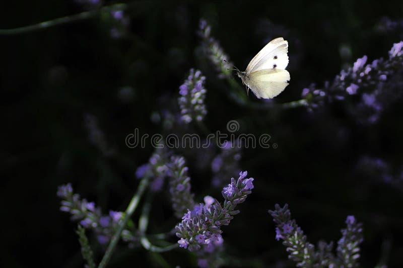 Schmetterling, der sich vorbereitet, für eine Blume herumzusuchen lizenzfreies stockbild