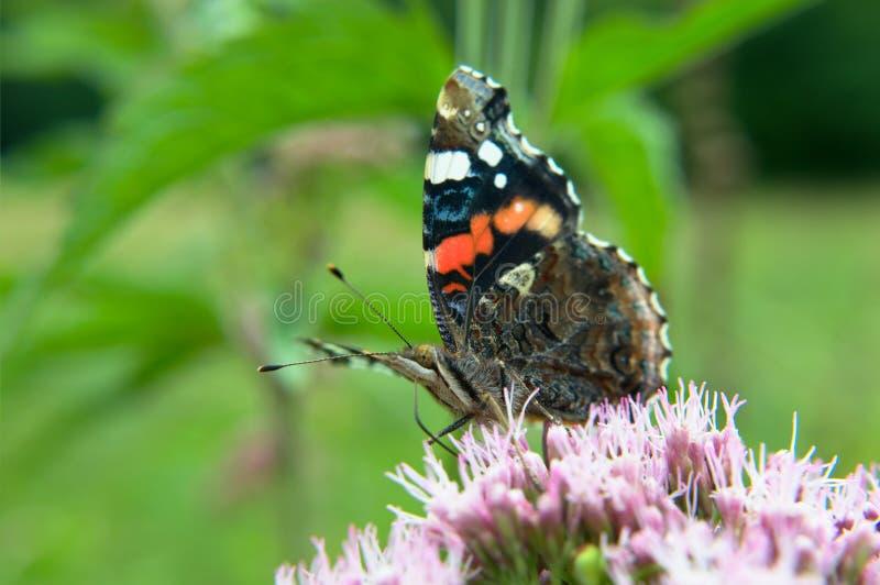 Schmetterling des roten Admirals auf einer Blume stockbilder