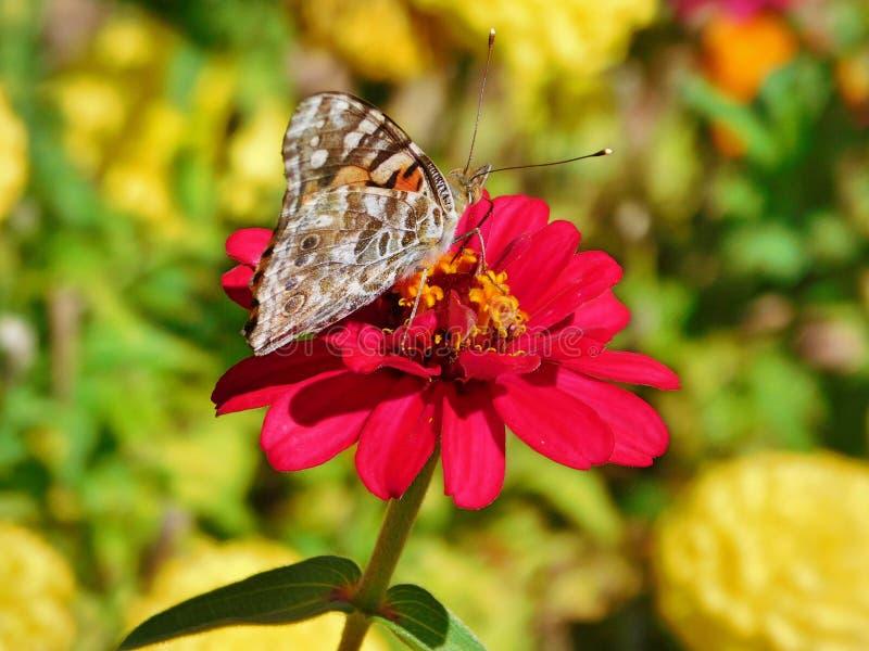 Schmetterling in einem Garten in Colorado lizenzfreies stockfoto