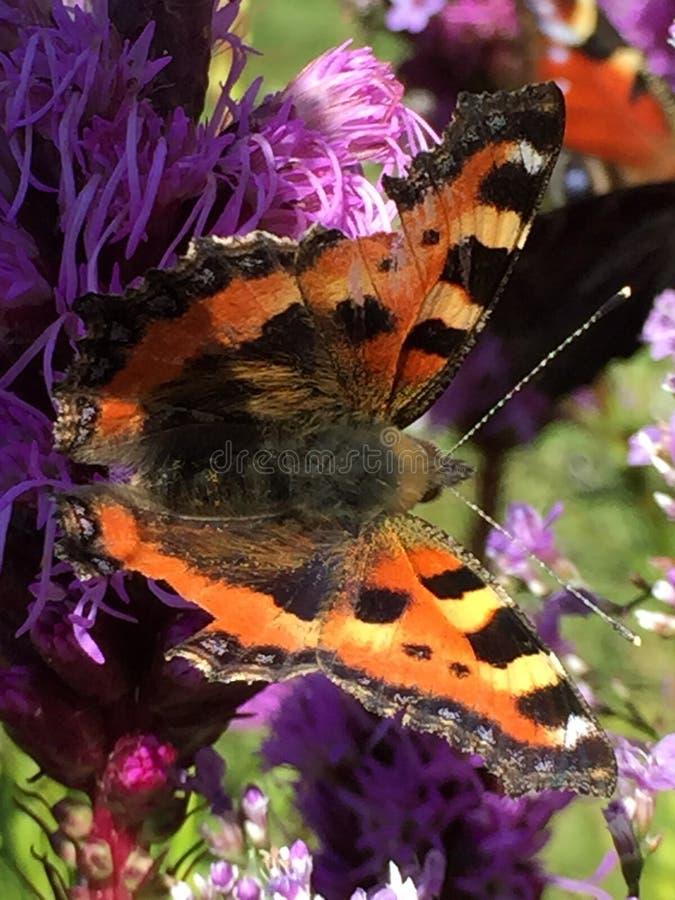 Schmetterling in einer purpurroten Blume stockfotos