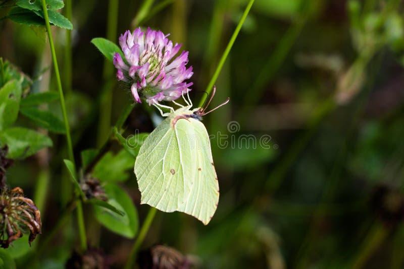 Schmetterling eines grünen Schattens auf einer violetten Blume stockbilder