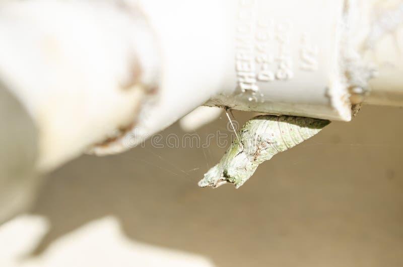 Schmetterling gebildete Puppe stockfoto