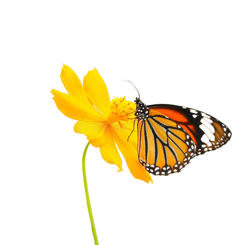 Schmetterling (gemeiner Tiger) und Blume lokalisiert auf weißem Hintergrund lizenzfreies stockfoto