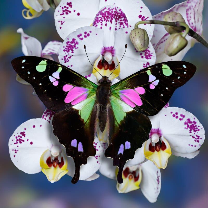 Schmetterling Graphium-weiskei swallowtail auf einer Weißorchidee blüht lizenzfreie stockfotos