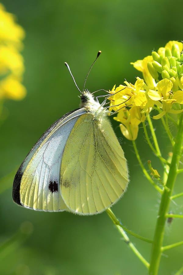 Schmetterling - großes Weiß (Pieris brassicae) auf gelben Blumen stockfotografie