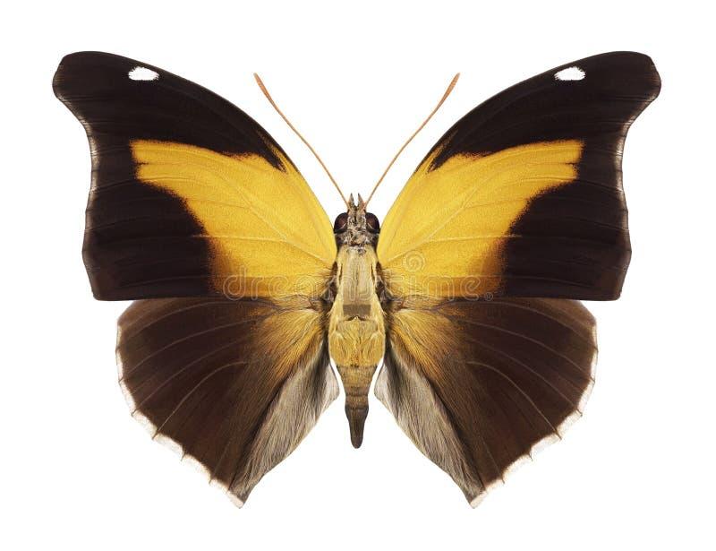 Schmetterling Historis Orion lizenzfreie stockbilder