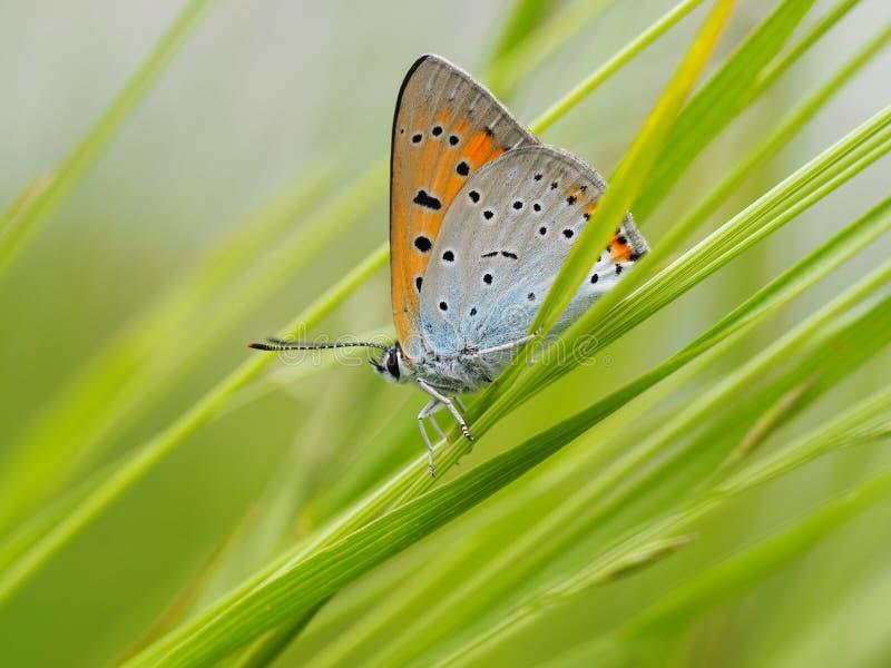 Schmetterling im Gras stockfotografie
