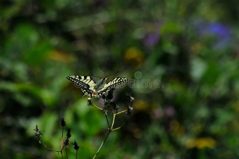 Schmetterling im Wald, der auf einer Blume aufwirft stockbild