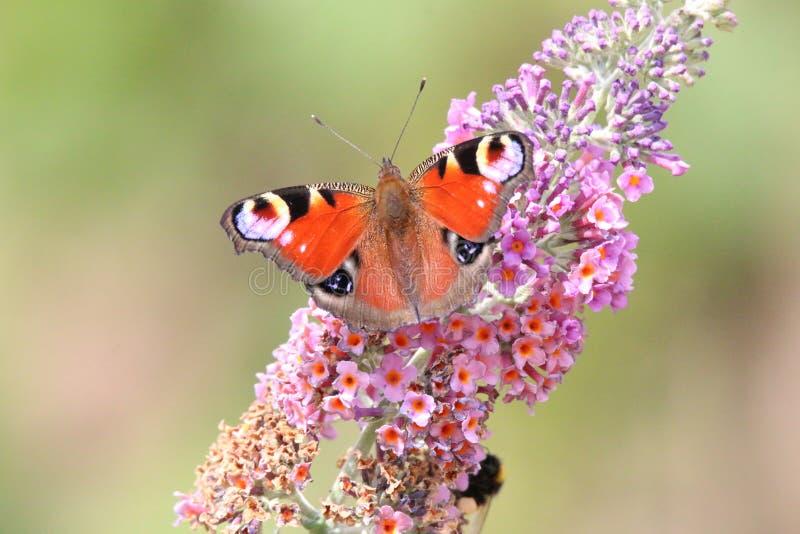 Schmetterling Inachis io trinkt Nektar und poliert die Blume stockfotografie