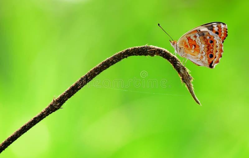 Schmetterling, Insekt, Tiere, Makro stockfotos