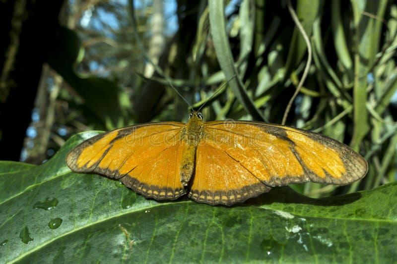 Schmetterling Julia, Dryas iulia, Detail, Abschluss oben stockfoto