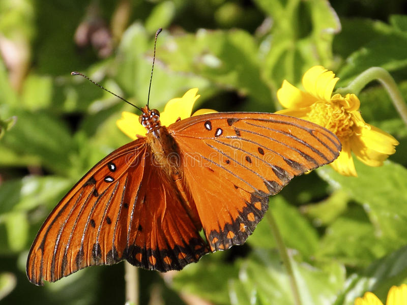 Schmetterling Kupfer-farbig lizenzfreie stockbilder