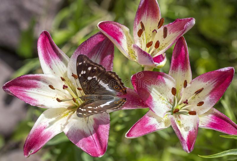 Schmetterling Lesser Purple Emperor Butterfly auf Lilienblumen stockbild