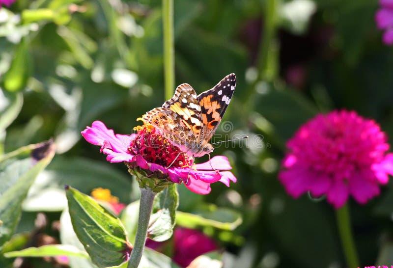 Schmetterling mag auch solch eine schöne Blume stockfoto