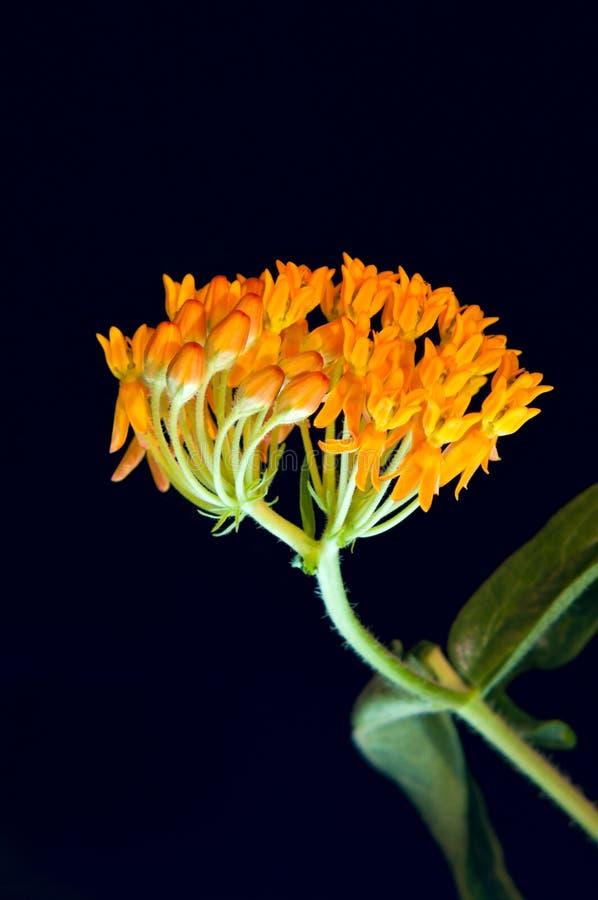 Schmetterling Milkweed Knospen und Florets lizenzfreies stockbild