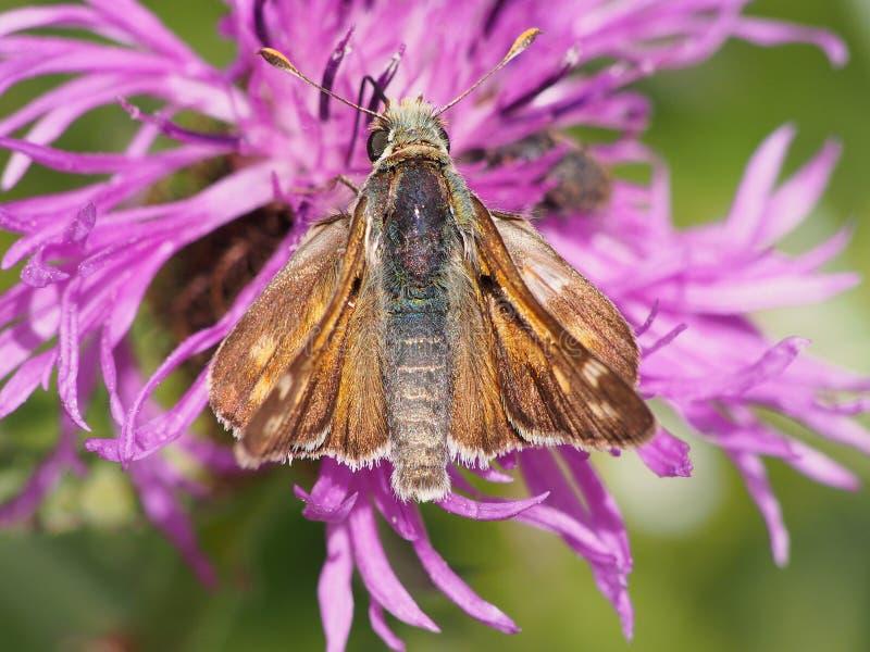 Schmetterling mit dem Haar lizenzfreies stockfoto
