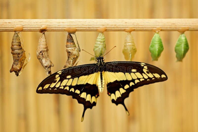 Schmetterling mit Puppe pupas Riesiges Schwalben-Endst?ck, Papilio-thoas nealces, sch?ner Schmetterling von Mexiko, das auf den B stockfotos
