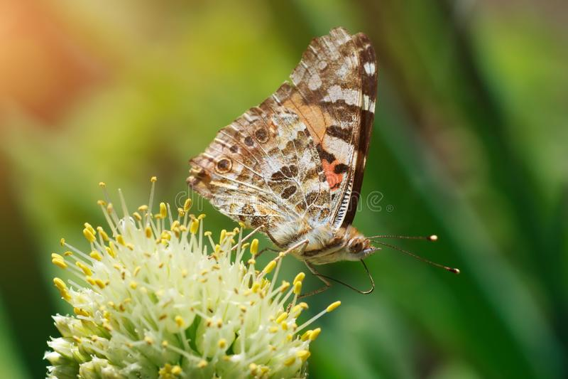 Schmetterling Nymphalis xanthomelas auf den Zwiebelstaubgefässen, Makrofoto stockfotografie