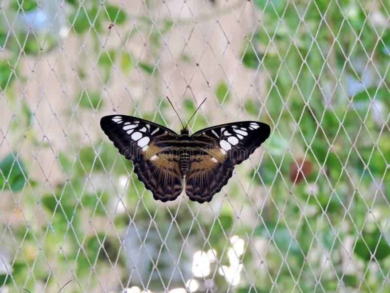 Schmetterling Parthenos Sylvia innerhalb des Dubai-Schmetterlings-Gartens lizenzfreie stockfotos