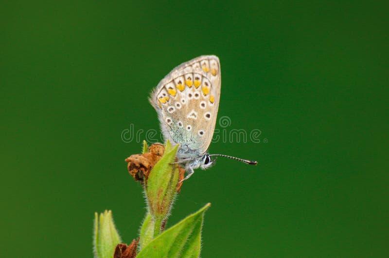Schmetterling Plebejus Argus auf einer Blume stockfotos