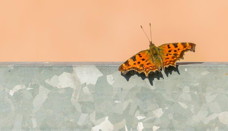 Schmetterling Polygoniacalbum draußen mit natürlichem Sonnenlicht lizenzfreies stockbild