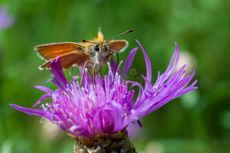 Schmetterling trinkt Nektar auf einer Blume lizenzfreies stockbild
