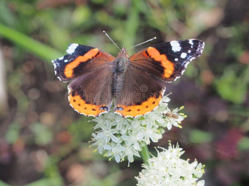 Schmetterling trinkt Nektar von einer Blume Die Flügel sind mit schwarz stockfotografie