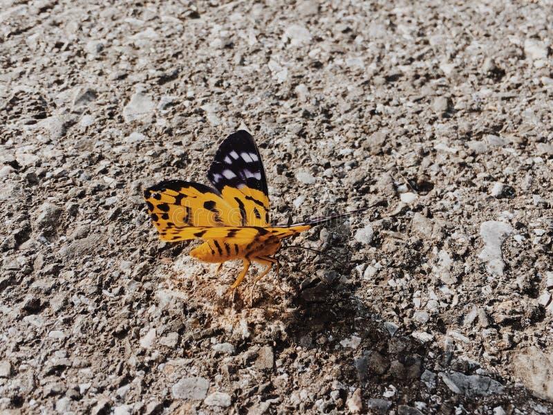 Schmetterling u. x28; Inchworm moth& x29; lizenzfreie stockfotos