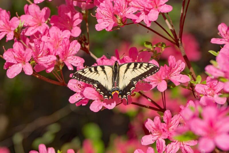 Schmetterling und Rosa Azalea Blooms lizenzfreies stockfoto