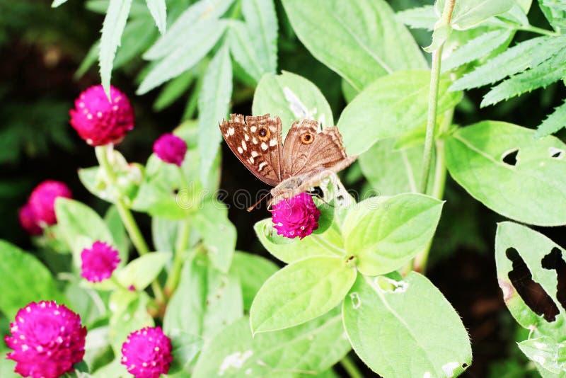 Schmetterling und rosa Blumen im Garten stockbilder