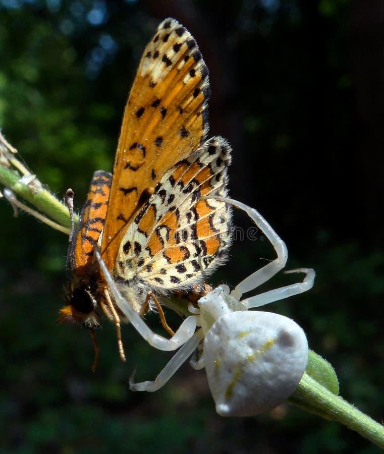 Schmetterling und Spinne lizenzfreie stockfotos