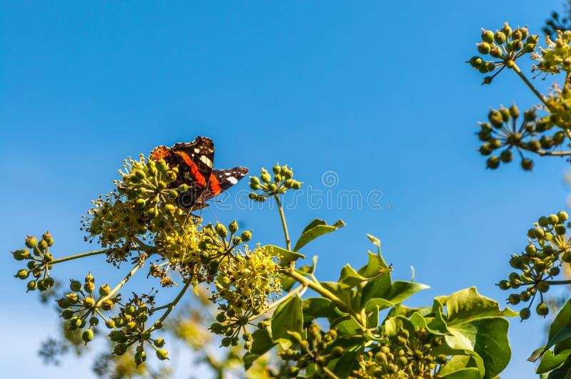 Schmetterling Vanessa cardui auf einer Blume lizenzfreie stockbilder