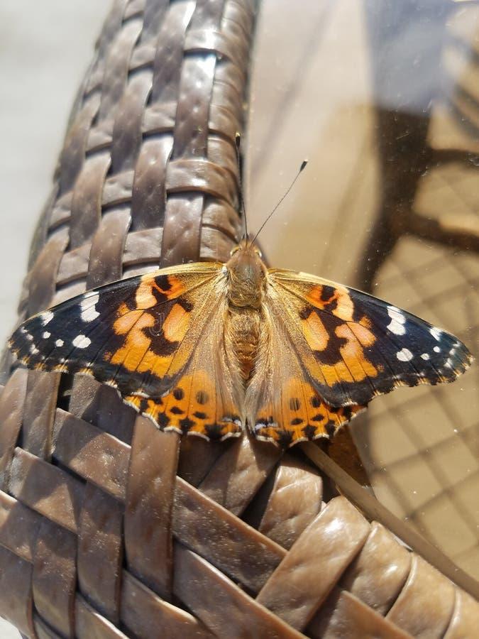 Schmetterling wildes Idaho lizenzfreie stockbilder